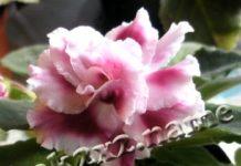 Выращиваем фиалки (сенполии)