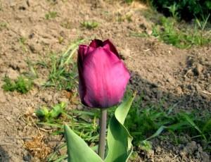 Тюльпаны – уход весной