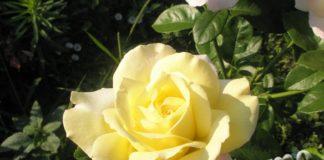 Выращиваем розы на даче